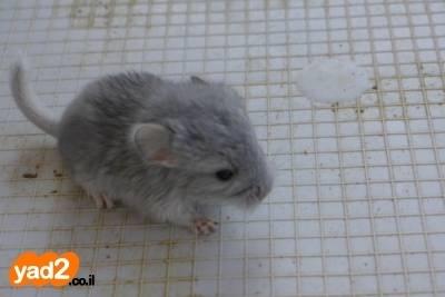 מעולה  צ'ינצ'ילה ויולט 100% נשא ספיר, חיות מחמד - ad SJ-43